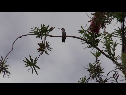 Canon XA15 Test Footage - Hummingbirds in repose on Bottlebrush
