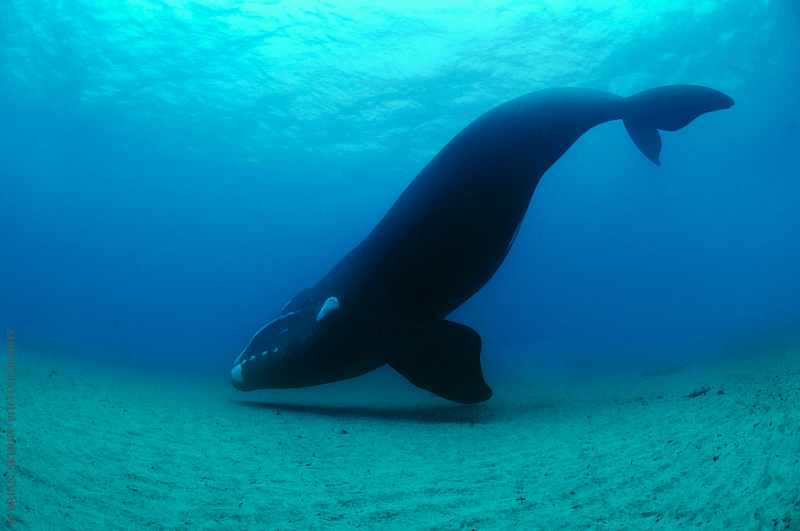 whale, underwater photography, wildlife photography